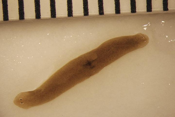 amputated flatworm fragment