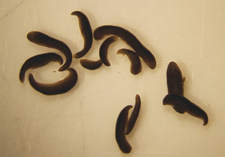 flatworms return from space